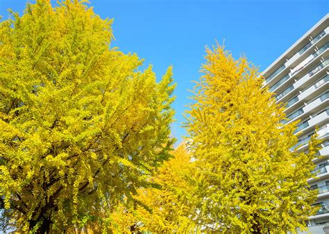 ginkgo tree why we still plant smelly ginkgo trees
