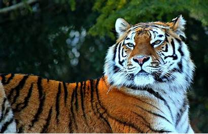 Tiger Wallpapers Awesome Royal Picked Stugon Hand