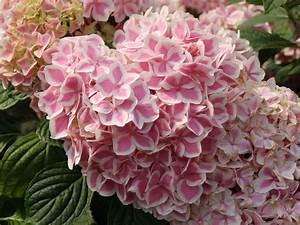 Hydrangea Macrophylla Winterhart : ballhortensie forever ever 39 peppermint 39 hydrangea ~ Michelbontemps.com Haus und Dekorationen