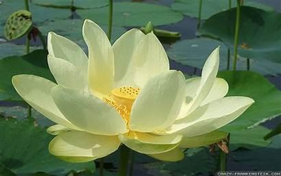 Lotus Flower Wallpapers Frankenstein Crazy Flowers Kb