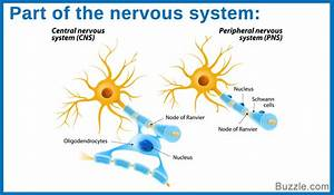 Brilliantly Interesting Facts About The Nervous System