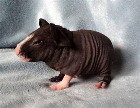 beautiful hairless skinny guinea pig babies  female