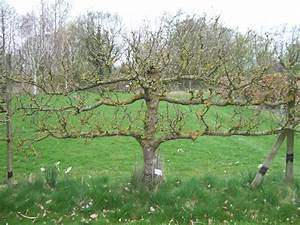 Pruning Cordon Fruit Trees  U2013 Botanics Stories