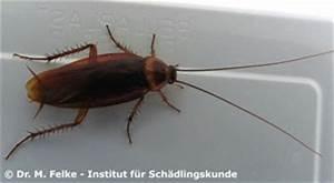 Wie Sehen Kakerlaken Aus : kakerlaken blattodea ~ Watch28wear.com Haus und Dekorationen