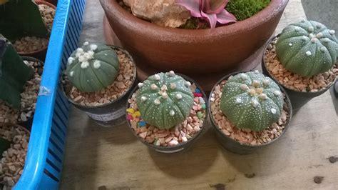 แคคตัส แอสโตรไฟตัม (Cactus Astrophytum)