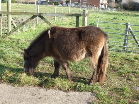 miniature horse yearling horses pets4homes bourne sold ago years