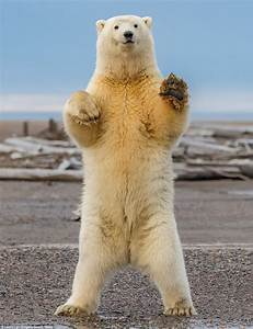 Polar bear cub shows off its dance moves in Alaska | Daily ...
