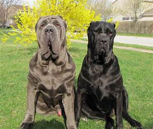 Neapolitan Mastiff Breed Guide - Learn about the ...
