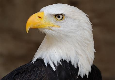 Bald Eagle Images Esciencecommons Democracy Works For Endangered Species Act