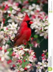 Northern Cardinal Bird Spring