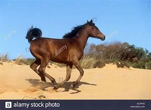 Arabian Horse Sand Stock Photos & Arabian Horse Sand Stock