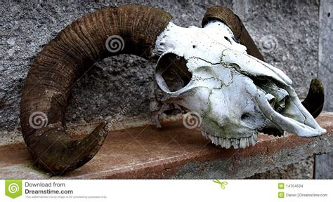 sheep skull stock images image