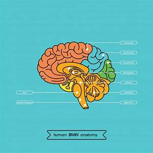 Labeled Shark Brain Diagram