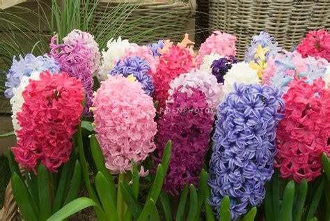 Hyacinths in many colors