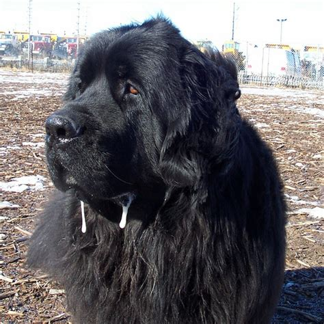 do newfoundlands shed hair breeds that drool and slobber