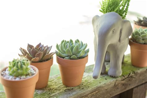 how do succulents grow how to grow succulents a comprehensive guide
