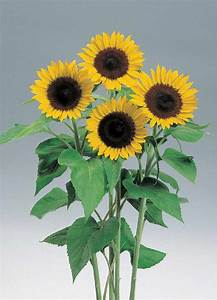 HELIANTHUS annuus SUNRICH LEMON