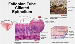 Fallopian Tube Function - Pregnancy