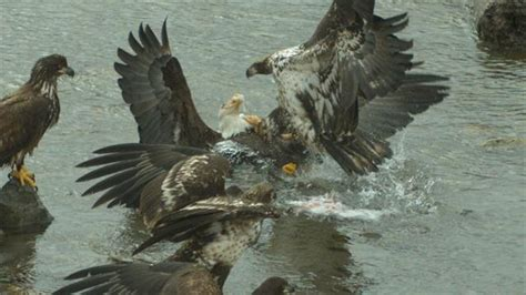 ferocious eagle attack captured  slow motion  alaska