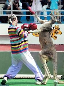 Kangaroo Boxing Match