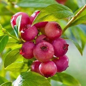 Pink Lemonade Blueberry Garden Plant Vaccinium Trade ...