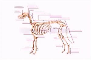 Dog Skeleton Diagram Quizlet