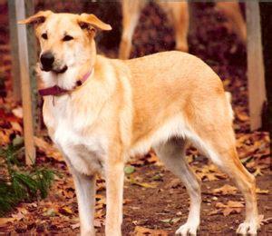 sled dog breeds list  pictures dogbreedscom