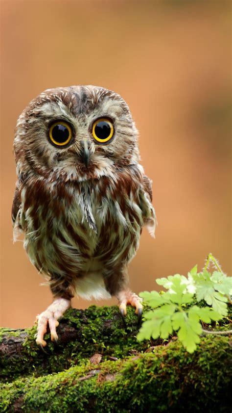 wallpaper owl chicken forest eyes animals