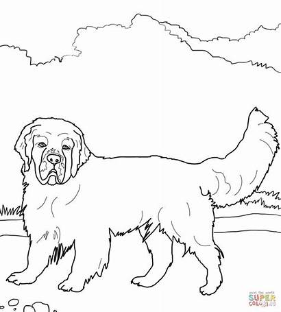Spaniel Coloring Clumber Pages English Dog Cocker
