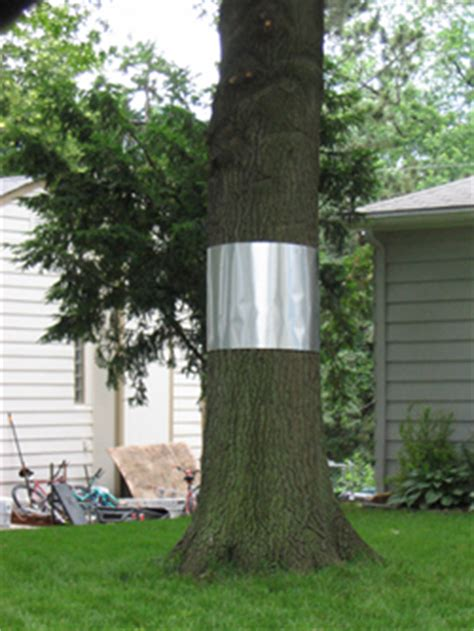 figure 6 aluminum collars on trees can help prevent