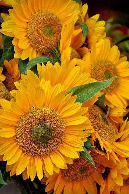 sunflowers blumen flowers stories sonnenblumen