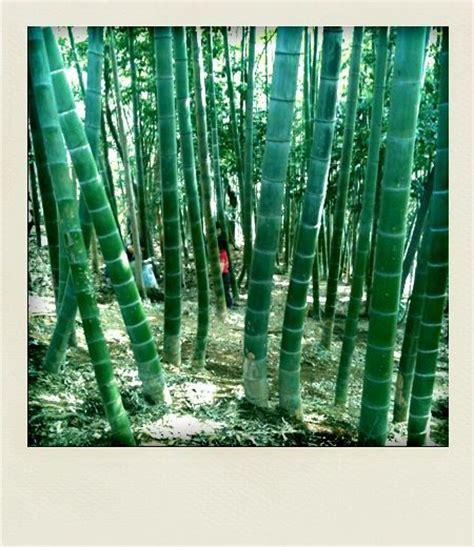 cuisiner les pousses de bambou pousses de bambou le japon fr