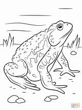 Toad Coloring Pages American Asiatic Printable Supercoloring Spadefoot Amphibian Reptiles Drawing Cane Drawings Super Games Print Amphibians Animals Paper 26kb sketch template