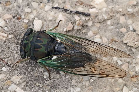 most artificial tree canada how would one go about raising cicadas in captivity ask