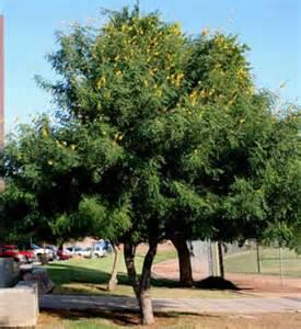 Cascalote Tree Arizona
