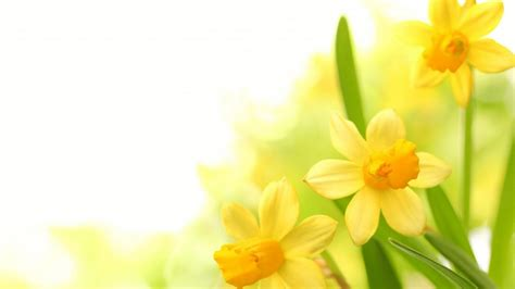 plants narcissus yellow flower wallpaperscom
