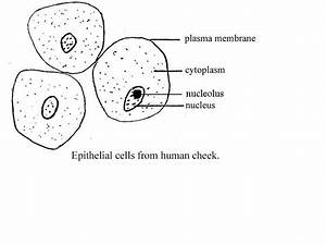 Human Cheek Cell Experiment - Human Anatomy Charts