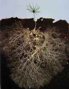 Roots Love Myccorhizae, and Myccorhizae Love Roots ...
