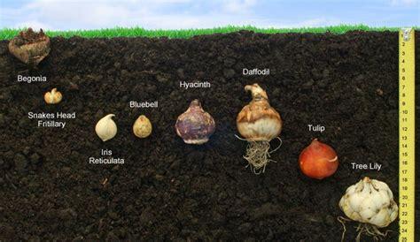 planting depths for bulbs in cm garden