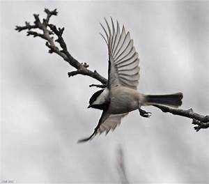 Chickadee in flight - FeederWatch