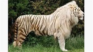 Male Tiger + Female Lion = Tigon These guys aren't as ...