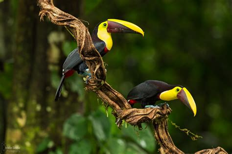 The Best Costa Rican Bird Photographers  Birdwatching In