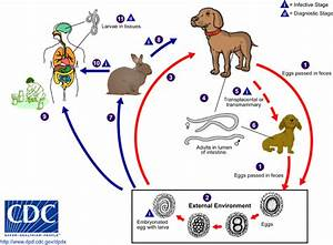 CDC - Toxocariasis - Biology