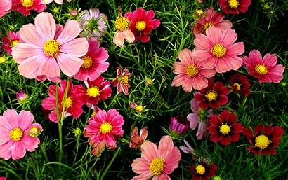 Flowers Pink Cosmos Wallpapers 1920 1200