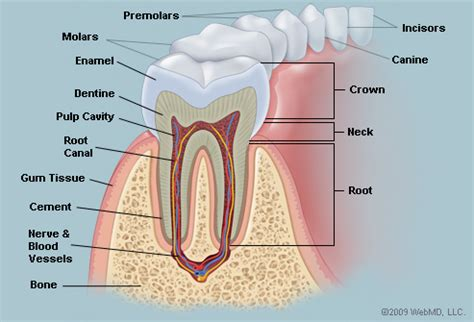 Tooth Bone Diagram by Tooth Anatomy Jeanne D D S Jeanne D D S