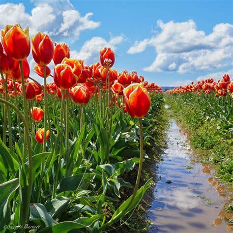tiptoe through the tulips in washington s skagit tiptoe through the tulips try something fun