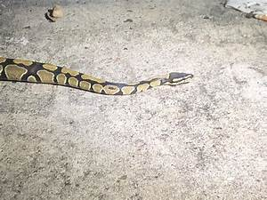 Anyone Know What Kind Of Snake This Is  It U2019s In The