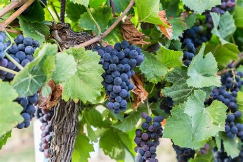 what are grape vines vitis labrusca concord grape vine
