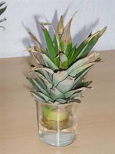 Ahorn Vermehren Steckling : ananas pflanze vermehren mit schopf stecklingen majas ~ Lizthompson.info Haus und Dekorationen