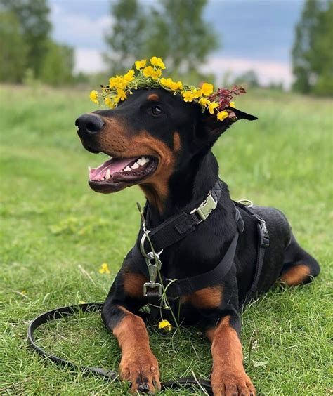 14 Pictures Only Doberman Owners Will Think Are Funny